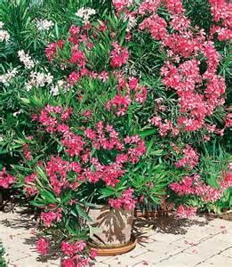 oleander standort garten beet balkonpflanze 187 oleander 171 kaufen otto