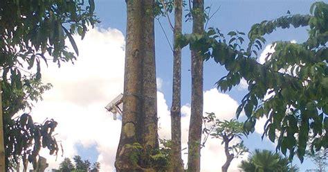 jual aneka pohon jual pohon pule  mojokerto