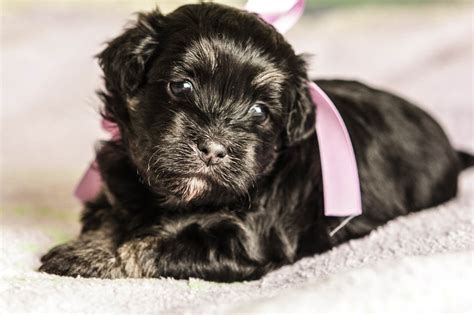 black havanese puppies havanese puppy duchess black with gray brindle boots no longer available akc