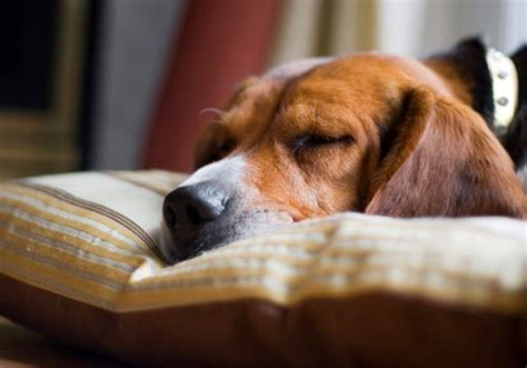 how many hours a day do dogs sleep why do dogs sleep so much no it s not because he s lazy