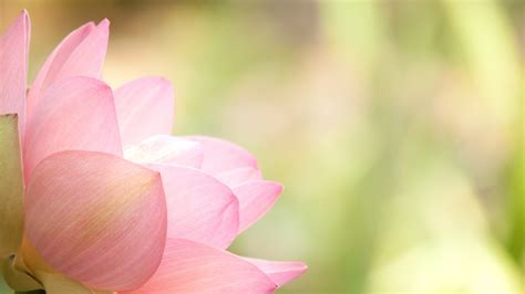 lotus wallpaper lotus flower wallpapers images photos pictures backgrounds