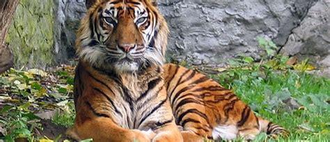 Harimaun Sumatera harimau sumatra dimasabryanto