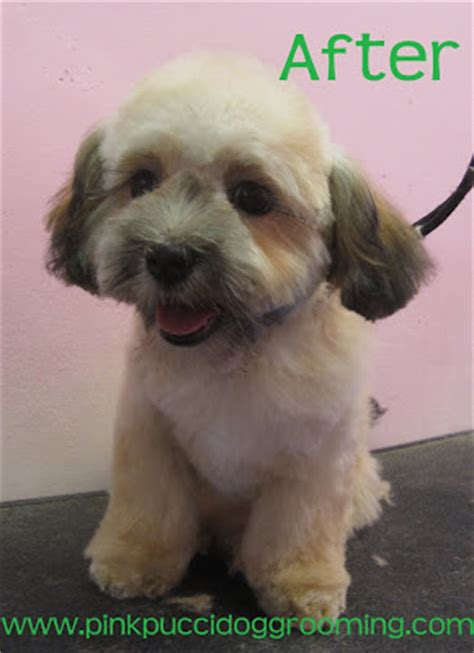 how to cut hair on a shihpoo lucky the shi poo before after dog grooming exle