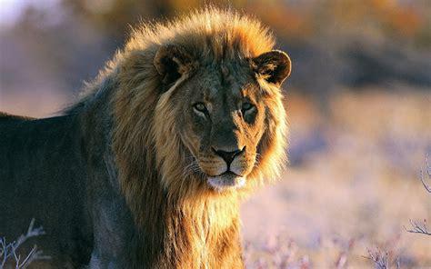 imagenes de leones full hd fotos de leones hd imagui