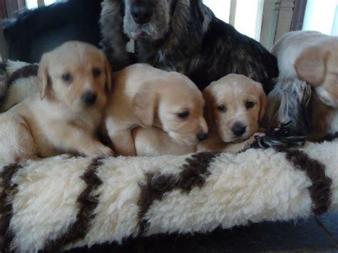 spanador puppies cockador spanador puppies for sale 1 left tetbury gloucestershire pets4homes