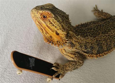 pringle  camera loving bearded dragon lizard