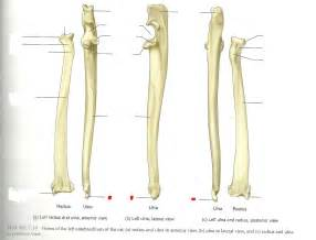 Radius by Radius And Ulna Labeled Images Amp Pictures Becuo