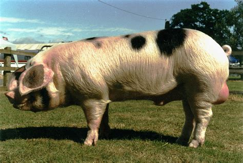 spotted breeds spotted pig breed