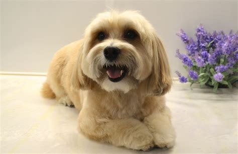 havanese grooming styles havanese grooming styles breeds picture