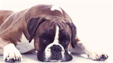 puppy throwing up the reason your is vomiting mucus and how to help petcarerx