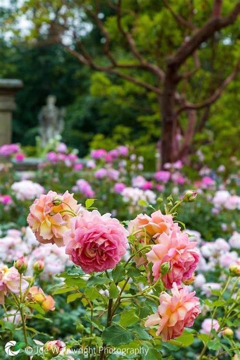 Fragrant Roses Flowering In Abundance On The Rose Terrace Fragrant Flowers For Garden