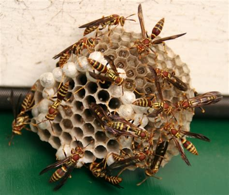 How To Make A Paper Wasp - paper nest wasps barmac pty ltd