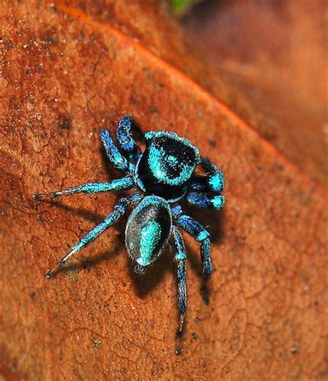 Set Spider Blue blue spider rodrigo layug flickr