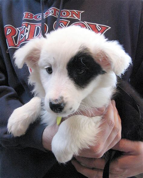 border collie husky mix puppy border collie husky mix puppies