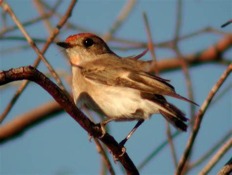 file red capped robin currawinya jpg wikimedia commons