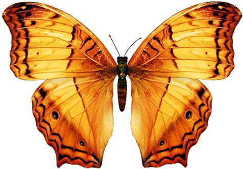 Big Butterfly clip graphics