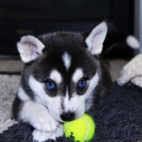 puppies husky pix we husky puppies make us want to howl