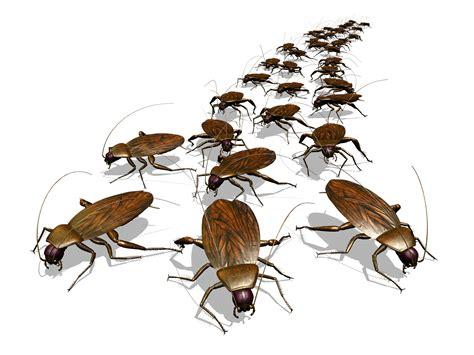 house pest cimex antennatus