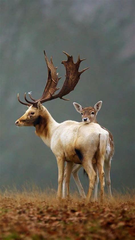 wallpaper deer meadow fog cute animals animals