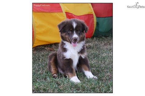 australian shepherd puppies for sale in oklahoma australian shepherd puppies for sale in oklahoma by breeders mini breeds picture