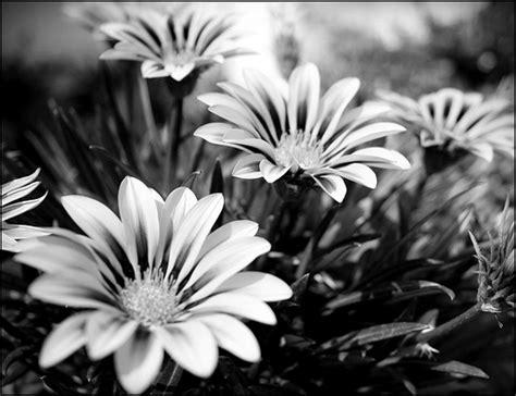 imagenes de flores a blanco y negro flores blanco con negro imagui