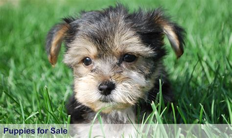 yorkie puppies for sale on ebay yorkie dogs puppies for sale in houston ebay rachael edwards
