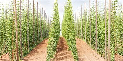 how to grow your own hops kegerator
