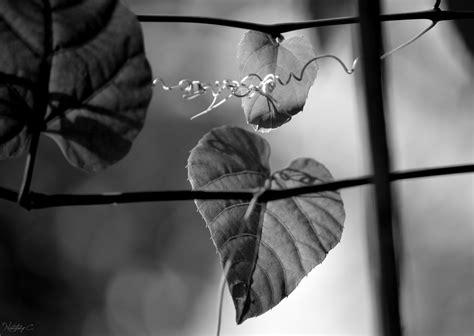 fotos en blanco y negro nikon d3200 fondos de pantalla hojas monocromo jard 237 n naturaleza