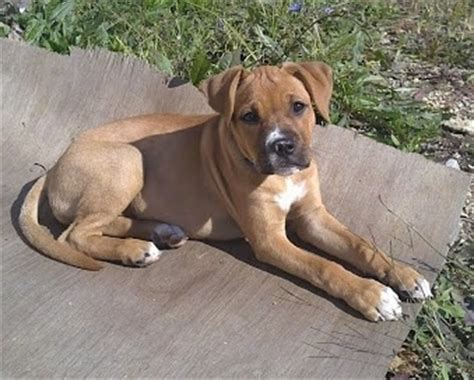 bullboxer pit puppies for sale brindle pitbull lab mix puppies breeds picture