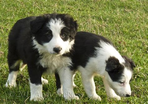 sheep puppies black sheepdog puppy www imgkid the image kid has it