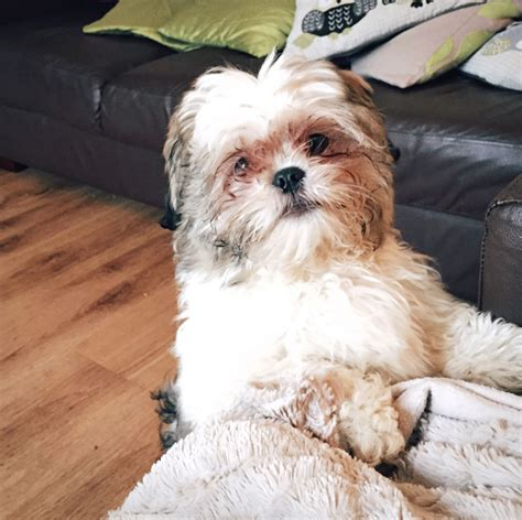 oldest shih tzu 5 month shih tzu puppy burnley lancashire pets4homes