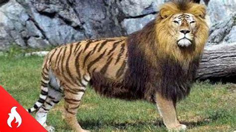 imagenes animales raros reales top 5 animales hibridos reales mas increibles y raros del