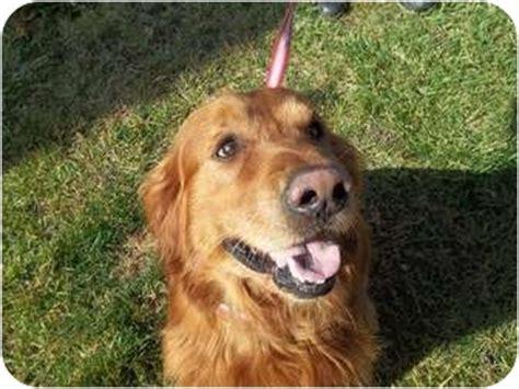 golden retriever puppies michigan rescue adopted 25589 lapeer mi golden retriever