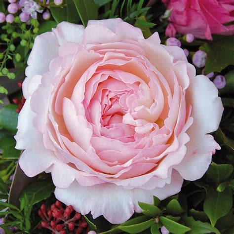Garden Roses by Associated Cut Flower Co Inc Floral Product Gallery David Garden Roses