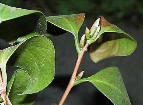 Schädlinge Kirschlorbeer by Buchsbaum Braune Bl 228 Tter Hilfe Mein Buchsbaum Bekommt