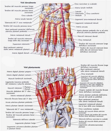 tavole anatomiche muscoli tavole anatomiche