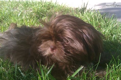 shih tzu puppies reno shih tzu puppy for sale near reno tahoe nevada 6c3518a8 2951