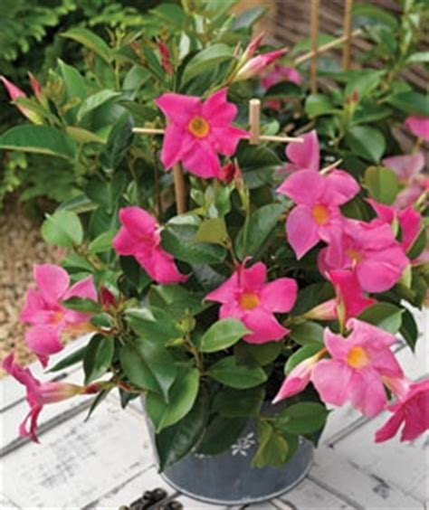 Ls For Indoor Plants by Dipladenia Pink Sun Ls 3 4 X 3 Wide As Shrub