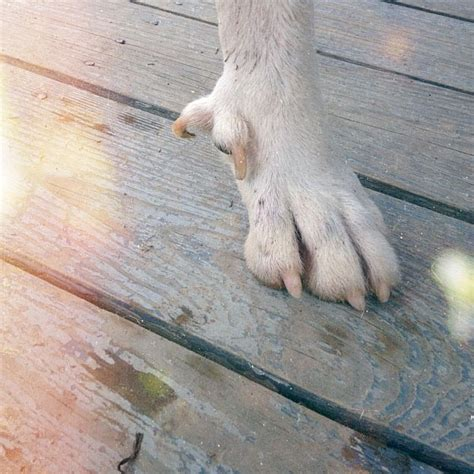 removing dew claws on puppies image gallery dew claws
