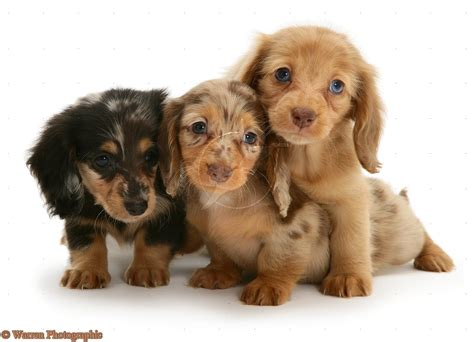 dachshund puppies puppy dogs haired miniature dachshund puppies