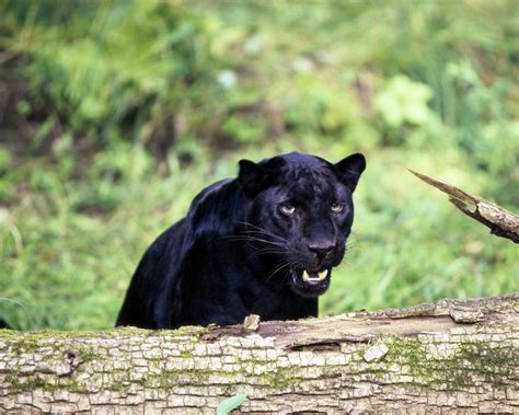 imagenes nde animales fotograf 237 as de panteras negras black panthers photos