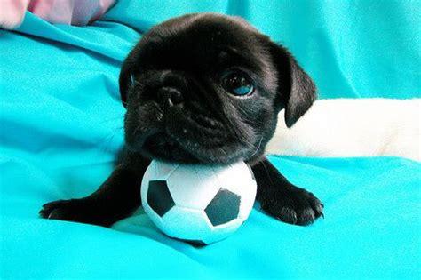 soccer pugs soccer pug puppy animals