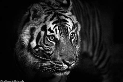 Tshirt Amazing Sumatera black and white tiger