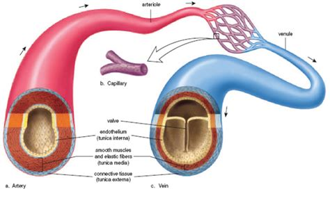 arteries and veins diagram veins vs arteries structure function and their