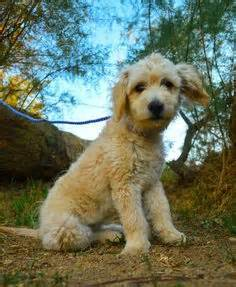 orange county indiana poodle rescue adorable dogs for adoption on