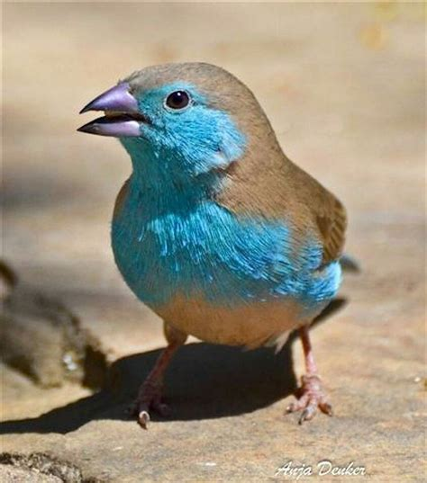 the blue waxbill also called blue breasted cordon bleu