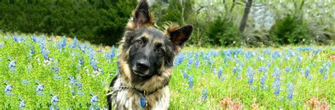 puppy rescue houston german shepherds houston rescue adopt dogs greater houston german shepherd