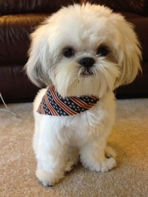 boy names for shih tzu 1012 best images about shih tzu names for boys and on pets puppys
