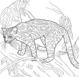 margay coloring page  printable coloring pages