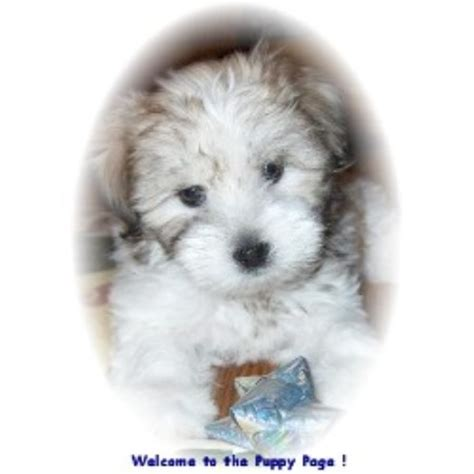 coton de tulear puppies for sale florida coton de tulear breeders in pennsylvania freedoglistings